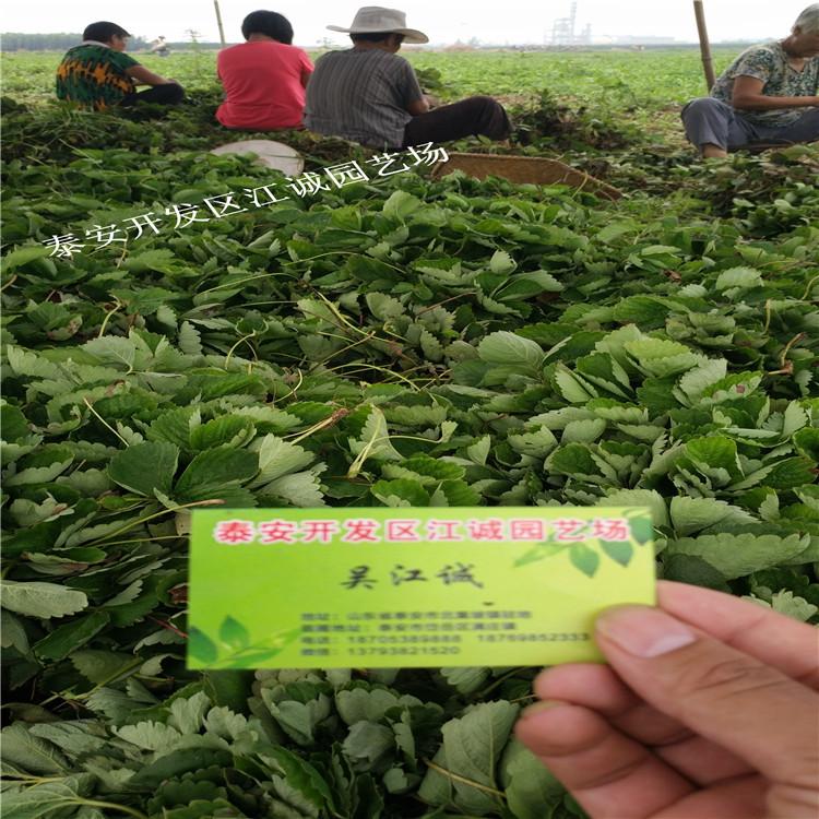 江西法兰地草莓苗培育基地高20CM地径2CM