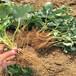 基地常年培育咖啡草莓苗脱毒草莓苗适合重庆气温栽培的咖啡草莓苗品种