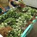 常年培育草莓苗法兰地脱毒草莓苗适合甘肃气温栽培法兰地草莓苗