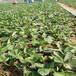 遼寧適合種植的草莓苗培育基地