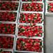 山西適合種植的草莓苗培育基地