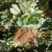 安徽合肥奶油草莓苗