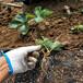 天津適合種植的草莓苗培育基地