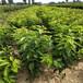 粗度2公分黑珍珠櫻桃樹苗供應基地價格,車厘子苗