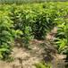 高度一米以上齊早櫻桃樹苗培育基地