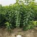黑珍珠櫻桃苗產量怎么樣