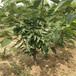 地徑1公分粗晚熟櫻桃樹苗種植技術