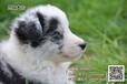 优趣蓝陨石边境牧羊犬宝宝找新家