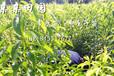供应云南德宏蜂糖李苗 优质蜂糖李树苗批发 李子苗种植基地