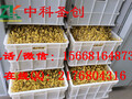 林甸县全自动大型豆芽机,豆芽机器价格图片
