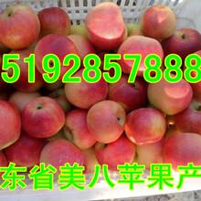 嘎啦蘋果產地山東嘎啦蘋果產地價格圖片