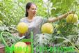 你从未见过吃过的黄金西瓜今日正式上市了