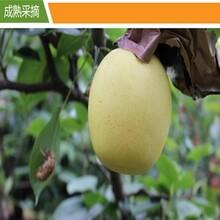 河北趙縣優質黃冠梨圖片