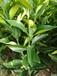 江华目前柑橘发展面积少建议可发展世纪红柑橘苗种植