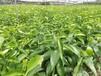 湖南世纪红柑橘行情价格醴陵世纪红柑橘种植发展方向优势
