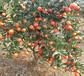 福建世纪红行情供应福州50cm高高糖晚熟世纪红柑橘苗种植