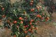 供应适合怀化发展种植晚熟高糖红色世纪红柑橘苗
