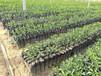 广西南宁沃柑种植区域可发展比沃柑好管理的世纪红柑橘苗