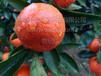 湖南千思農林世紀紅柑橘基地批發高糖晚熟世紀紅柑橘苗