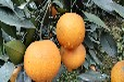 湖南少核沃柑苗基地永州道县脐橙之乡种植新品种锦蜜冰糖橙