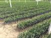 益阳栽培世纪红柑橘发展前景考虑30-70cm锦蜜冰糖橙基地直供
