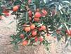 泸州种植什么晚熟柑橘新品种效益高选晚熟大雅一号世纪红柑橘苗