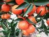 基地直供适合漳州世纪红、美国糖橘、大雅一号、红美人柑橘苗