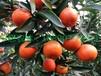 湖南千思农林企业基地直销适合贵州安顺栽培世纪红柑橘苗