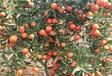 湖南千思農林供應適合云南種植發展世紀紅柑橘苗嫁接柑橘苗