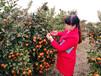 千思農林柑橘苗基地直供適合廣西賀州種植世紀紅柑桔苗