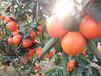 福建世紀紅柑橘種植發展產量高糖度高綜合效益好