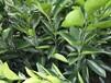千思農林臍橙苗紐荷爾,賀州供應千思農林臍橙苗色澤光潤