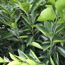 臍橙苗品種繁多,湖南臍橙苗圖片