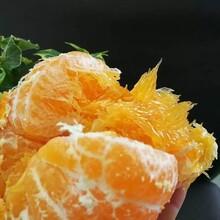 千思農林甘平柑橘苗,保山甘平苗規格齊全圖片
