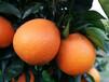 千思農林紐荷爾臍橙苗,宜昌臍橙苗優質服務