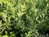 千思農林紐荷爾臍橙苗,桂林供應千思農林臍橙苗色澤光潤
