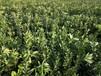 常德千思農林臍橙苗品質優良,湖南臍橙苗