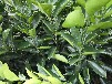 桂林供應臍橙苗量大從優,湖南臍橙苗