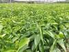 達州優質千思農林無核沃柑苗質量可靠,無核沃柑基地