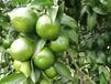 千思農林常德柑橘苗,清遠優質千思農林無核沃柑苗品質優良