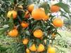 湖南常德千思營養杯柑橘苗基地明日見杯苗