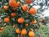 明日見柑橘樹苗基地阿斯蜜雜柑晚熟柑橘新品種