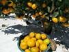 湖南千思由良柑橘苗枳殼嫁接早熟由良樹苗
