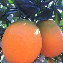 青秋脐橙湖南千思农林青秋脐橙苗木果树脐橙新品种基地图片