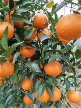 春见柑橘苗湖南千思1-3年生春见耙耙柑树苗图片