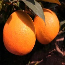 湖南常德红美人柑橘苗南方红美人柑橘树苗图片