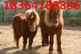 小矮馬價格一般多少錢一匹