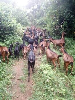 努比亚黑山羊苗多少钱一只、屠宰黑山羊价格多少钱一斤