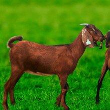 农村小伙打工多年无积蓄,借4万元养殖山羊,开启致富之路
