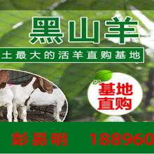 卖羊种,出售新鲜羊胎盘